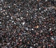 Secado de los granos de cacao Fotografía de archivo libre de regalías