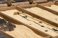 Secado de los granos de café Imágenes de archivo libres de regalías