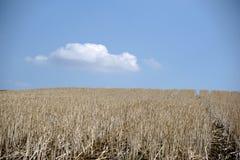 Secado encima de campo de maíz Imágenes de archivo libres de regalías