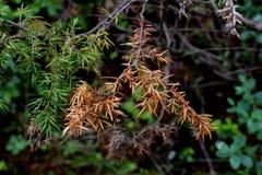 Secado encima de rama spruce Imagenes de archivo