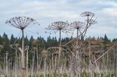 Secado hogweed en el campo Fotos de archivo