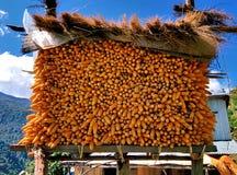 Secagem da colheita de milho no ar e na luz solar Imagem de Stock Royalty Free