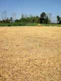 Secagem da semente do trigo Fotografia de Stock