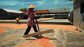 Secagem do camarão na terra em Cilacap, Java, Indonésia filme