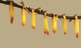 Secagem do milho Fotos de Stock Royalty Free