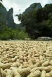 Secagem dos amendoins Fotos de Stock Royalty Free