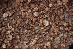 Secagem dos cogumelos Imagens de Stock