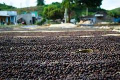 Secagem dos feijões de café Imagens de Stock