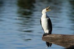 Cormorant Pied australiano com conta aberta Imagens de Stock