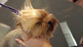 Secagem veterin?ria um cabelo do yorkshire terrier em uma cl?nica veterin?ria, close-up vídeos de arquivo