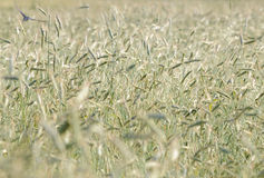 Secale cereale. Growing rye, secale cereale field on caountryside in Poland Stock Photography