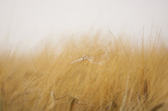 Secale cereale Rye maturing during summer in sweden. Rye getting ready to harvest in sweden Royalty Free Stock Images