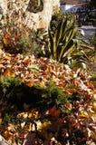 Secas de los hojas de la pita y foto de archivo