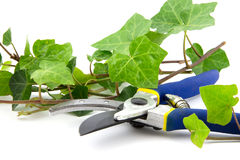Secateur with branches of ivy plant isolated Stock Photography