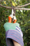 Secateurs Stock Images