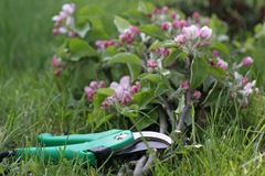 Secateurs with apple branches Royalty Free Stock Photos