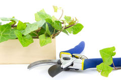 Secateurs with  branches of ivy plant in a wooden crate isolated Royalty Free Stock Photos