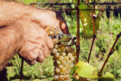 Secateurs in farmer`s hands cuting a yellow-green bunch of grapes in sunny valley. Ecological vineyards during harvest. Royalty Free Stock Photography