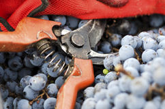 Secateurs and gloves in a crate with Merlot grapes. Selective focus Stock Photography