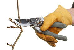 Secateurs pruning. Leather gloved hand Winter pruning a budding branch isolated against white stock image