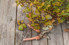 Secateurs and raspberry stems on a wooden table. The stems of raspberries cut after the end of the season and secateurs on a wooden table Stock Photos