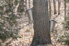 Secchi della raccolta della linfa sugli alberi di acero Immagini Stock Libere da Diritti