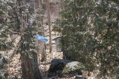 Secchi della raccolta della linfa sugli alberi di acero Fotografie Stock Libere da Diritti