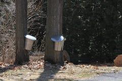 Secchi della raccolta della linfa sugli alberi di acero Fotografie Stock