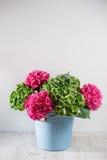 secchio blu della ciotola un fondo verde e rosa del mazzo di colore dell'ortensia di bianco Colori luminosi Nuvola porpora 50 ton Fotografia Stock
