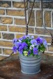 Secchio con i fiori variopinti della viola, stagione primaverile nei Paesi Bassi, decorazione del giardino fotografie stock libere da diritti