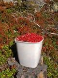 Secchio del Lingonberry nella foresta Immagine Stock