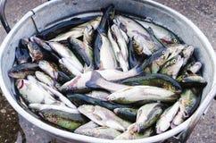 Secchio del metallo in pieno con il pesce Fotografie Stock