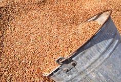 secchio di grano Fotografie Stock Libere da Diritti