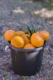 Secchio pieno dei mandarini Immagini Stock Libere da Diritti