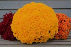 Secchio variopinto rosso, mummie gialle e arancio di caduta Fotografie Stock Libere da Diritti