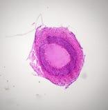 Sección de la arteria debajo del microscopio Imagen de archivo