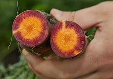 Sección de las zanahorias violetas Imágenes de archivo libres de regalías