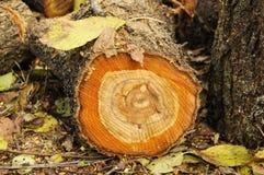 Sección de una caída del árbol Fotografía de archivo libre de regalías