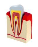 Sección del diente. pulpa con los nervios y los vasos sanguíneos. ilustración del vector