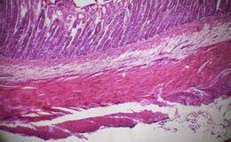 Sección del intestino delgado debajo del microscopio Fotos de archivo libres de regalías