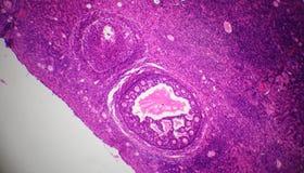 Sección del ovario debajo del microscopio Imágenes de archivo libres de regalías