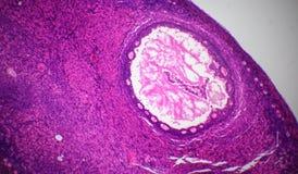 Sección del ovario debajo del microscopio Foto de archivo libre de regalías