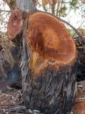 Sección del tronco de árbol Fotos de archivo libres de regalías