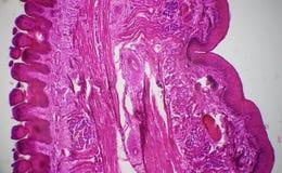 Sección longitudinal de la lengua debajo del microscopio Fotografía de archivo libre de regalías