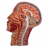 Sección mediana de la cabeza humana aislada en blanco Fotos de archivo libres de regalías