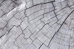 Sección representativa del tronco de árbol Imagen de archivo libre de regalías