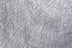 Sección representativa del tronco de árbol Foto de archivo