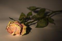 Secco è aumentato con la testa rosa illuminata fotografia stock libera da diritti