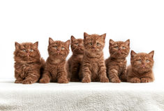 Sechs braune britische Kätzchen Stockbild