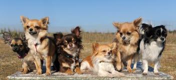 Sechs Chihuahua Stockfotografie